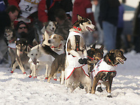 Aliy Zirkle's lead dog jumps with excitement at the start line on 4th avenue during the start of the Iditarod.