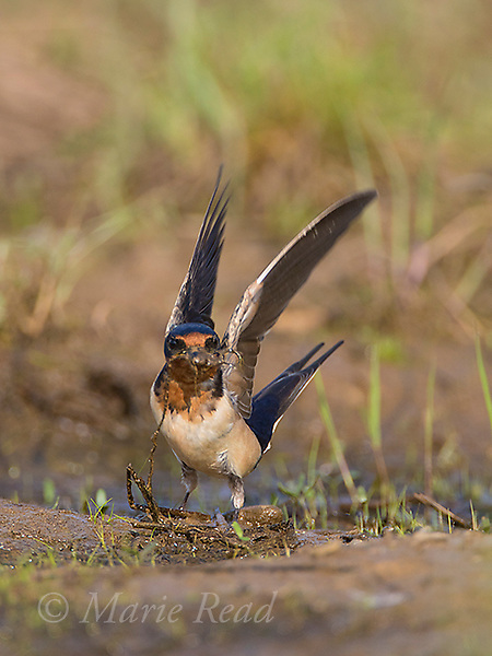 Barn Swallow (Hirundo rustica), gathering mud and vegetation for nest material, Caroline, New York, USA.