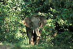 Asian Elephant, Elephas maximus, Sabah, male amongst forest vegetation  .Indonesia....
