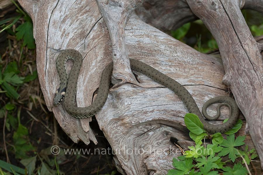 Ringelnatter, Ringel-Natter, Natter, sonnt sich auf einem trockenen Holz, Natrix natrix, Grass Snake, Couleuvre á collier