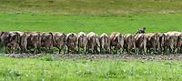 Austria, Vorarlberg, Sibratsgfaell: cattle in file getting fed | Oesterreich, Vorarlberg, Sibratsgfaell: alle Rindviecher in Reih und Glied angetreten zum Futter fassen