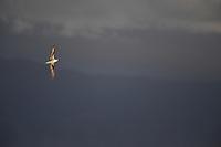 Zino's Petrel - Pterodroma madeira