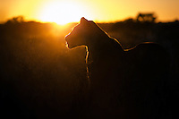 Rim-lit lioness hunting at sunrise in the Kgalagadi.