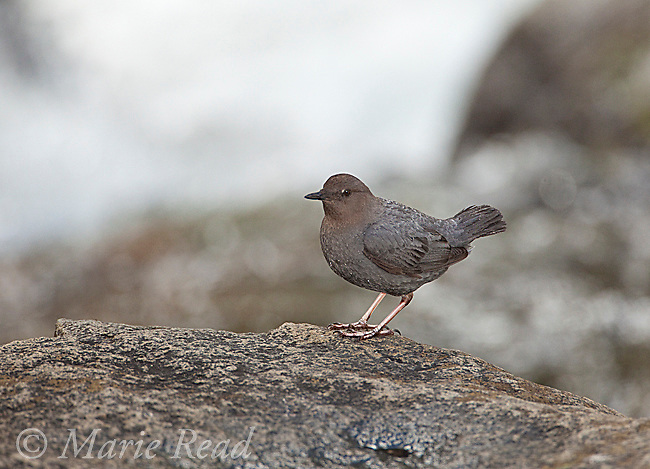 American Dipper (Cinclus mexicanus), perched on a rock near rushing water, Mono Lake Basin, California, USA