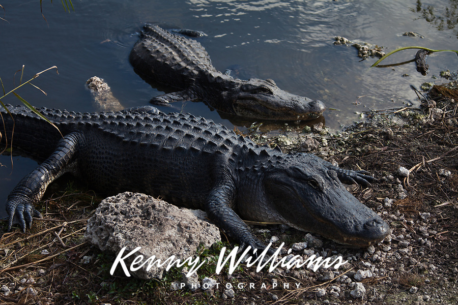 American Alligator, Gator, (Alligator Mississippiensis), Everglades National Park, Florida, FL, America, USA.