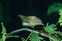 Red-eyed Vireo, Vireo olivaceus, adult, South Padre Island, Texas, USA, May 2005