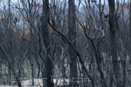 Fire-blackened tree trunks 4 weeks after bushfire along Woy Woy Rd. Central Coast, New South Wales