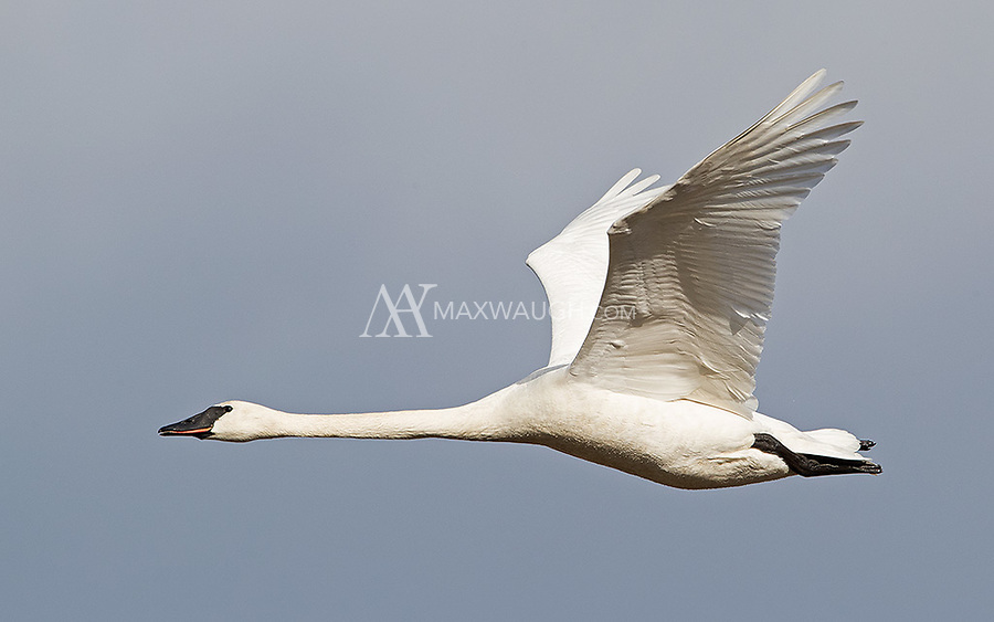 Along with tens of thousands of Snow geese, Trumpeter swans migrate through the Skagit Valley in winter.
