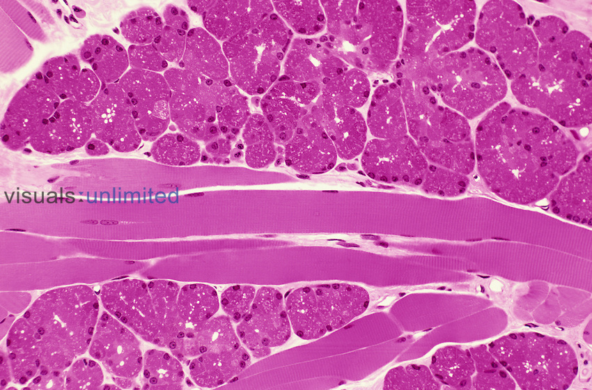 Primate tongue serous glands and skeletal muscle. H&E stain,  LM X64