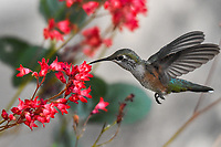 A female Broad Tailed  Hummingbird feast on the sweet nectar of summer flowers in Colorado.