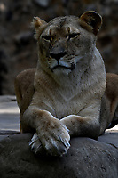 CALI - COLOMBIA - 27 - 09 – 2017: Leona Africano (Panthera Leo), especie de felino en el Zoologico de Cali, en el Departamento del Valle del Cauca.  / African Lioness (Panthera Leo), a feline species at the Cali Zoo, in the Department of Valle del Cauca./ Photo: VizzorImage / Luis Ramirez / Staff.