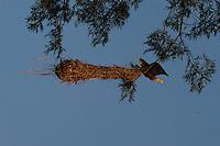 Oropendola Nest (Psarocolius sp)