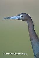 00689-01107 Little Blue Heron (Egretta caerulea)  Starr Co.  TX