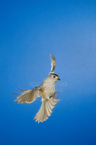 Black-crested Titmouse, Baeolophus atricristatus, adult in flight, New Braunfels, Hill Country, Texas, USA