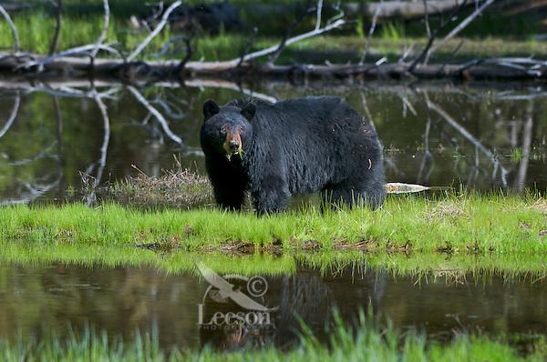 Wild, adult, Black Bear (Ursus americanus) reflectiong in small pond.  Western U.S., spring.