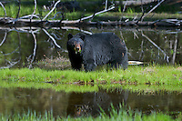 Wild, adult, Black Bear (Ursus americanus) reflectiong in small pond.  Western U.S., spring.