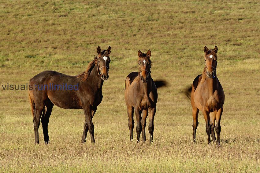 Thoroughbred Horses in a pasture, Lexington, Kentucky, USA.