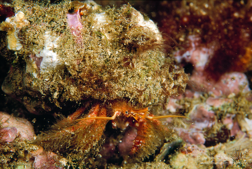 Santa Cruz Island, Channel Islands National Park & National Marine Sanctuary, Channel Islands, California; a Hermit Crab (Paguristes ulreyi) moves across the rocky reef , Copyright © Matthew Meier, matthewmeierphoto.com All Rights Reserved