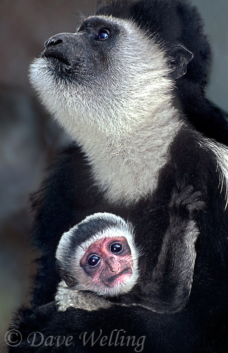 660273003 a captive mother and her young offspring kikuyu colobus monkeys colobus quereza share an intimate moment species is native to central africa these are zoo animals