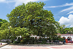 La Pochota is a large ceiba or kapok tree in the main plaza of Chiapa de Corzo in Chiapas, Mexico.  According to legend, the Spanish built the town around this tree in 1528.