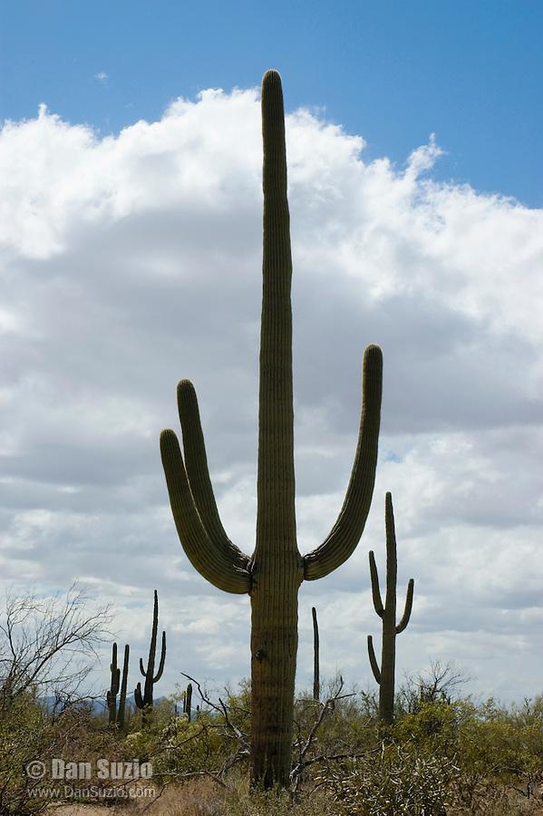 Saguaro, Carnegiea gigantea. Saguaro National Park, Arizona
