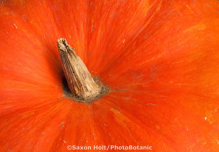 Macro, close-up view of stem and top of bright orange heirloom French Cinderella Pumpkin 'Rouge vif D'Etampes'( Cucurbita)