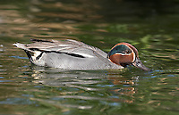 Krickente, Männchen, Erpel, Krick-Ente, Anas crecca, Teal, green-winged teal, Sarcelle d'hiver