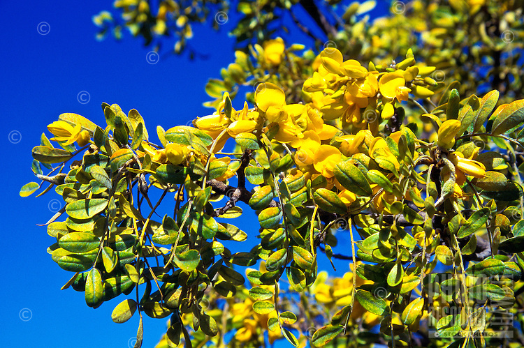The endemic mamane (sophora chrysophylla) in puu laau. Its bright yellow pea-like flowers blossom  in early to late spring, depending on  the rainfall.