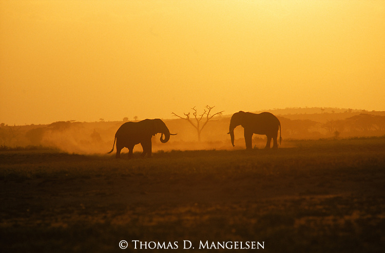 Two elephants stand face-to-face in a challenge in Amboseli National Park, Kenya.