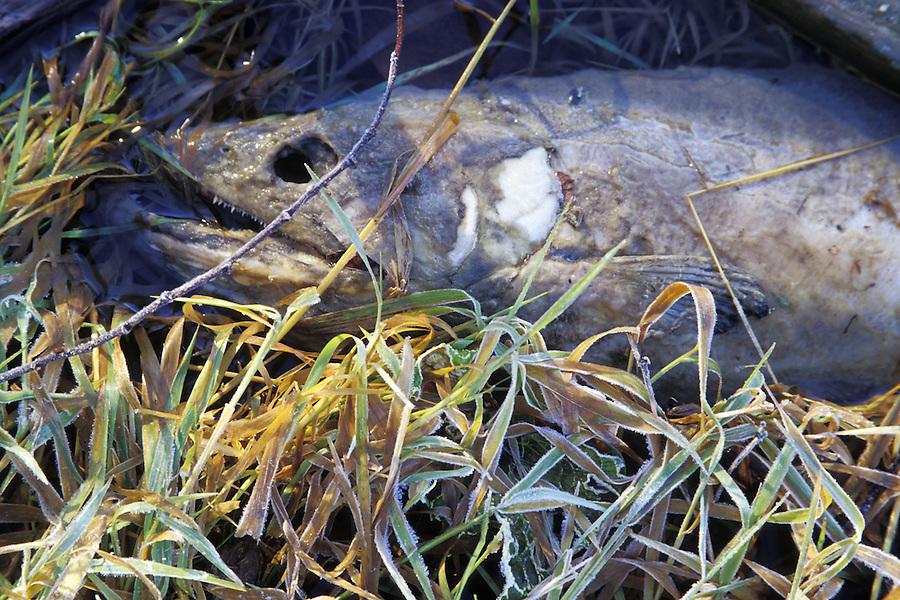 Dead salmon rotting on shore of Skagit River, Marblemount, Washington