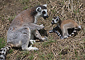 16/05/16<br /> <br /> &quot;Now listen carefully, remember to not look down&quot;<br /> <br /> Three baby ring-tail lemurs began climbing lessons for the first time today. The four-week-old babies, born days apart from one another, were reluctant to leave their mothers&rsquo; backs to start with but after encouragement from their doting parents they were soon scaling rocks and trees in their enclosure. One of the youngsters even swung from a branch one-handed, at Peak Wildlife Park in the Staffordshire Peak District. The lesson was brief and the adorable babies soon returned to their mums for snacks and cuddles in the sunshine.<br /> All Rights Reserved F Stop Press Ltd +44 (0)1335 418365