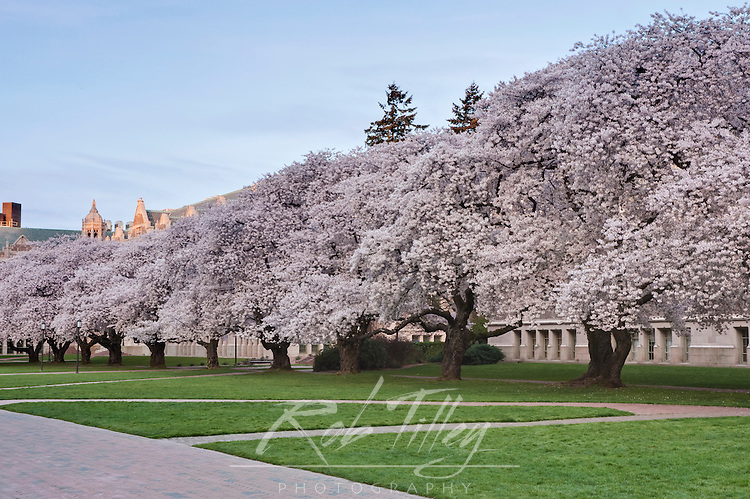 USA, WA, Seattle, University of Washington, Yoshino Cherry Trees Blooming on the Quad