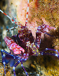 Snapping shrimp , Alpheus spp. Purple red and blue snapping shrimp head on full body view , St Vincent