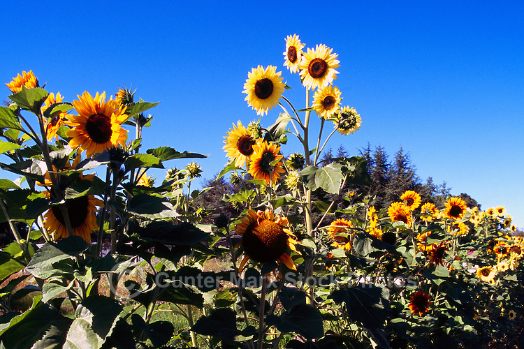 Terra Nova Rural Park, Richmond, BC, British Columbia, Canada - Sunflowers (Helianthus) in bloom at the Terra Nova Community Garden