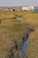 Salt marsh - autumn near Wildwood; Spartina alterniflora; Cape May County, NJ;