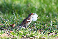 Hausspatz, Männchen sammelt Nistmaterial, Haus-Spatz, Spatz, Haussperling, Haus-Sperling, Spatzen, Passer domesticus, House Sparrow, male, Sparrows, Moineau domestique