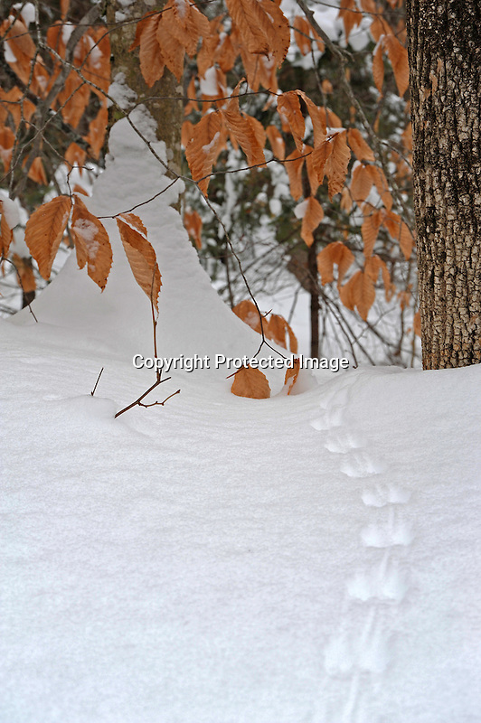 Meandering Animal Tracks through the Snowy Woods of Vermont