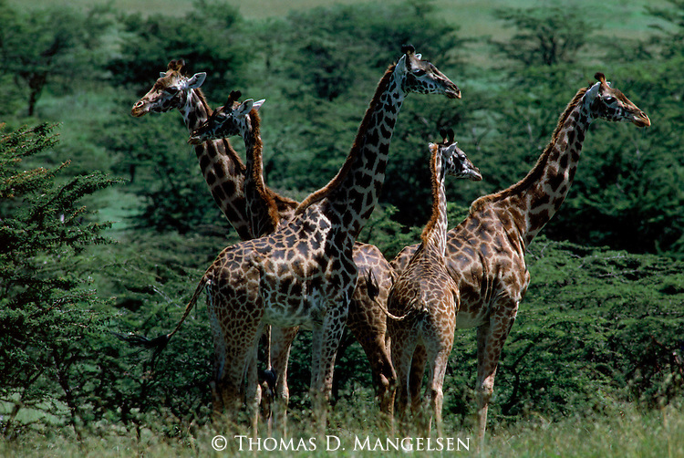 A group of giraffes stand together in a clearing in Buffalo Springs, Kenya.