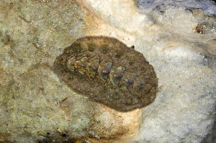Acanthochitona fascicularis