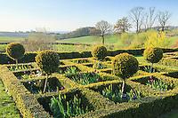 Jardin de la Ferme du Mont des Récollets: le jardin des carrés de buis, avec ici dans les carrés, muscaris et tulipes triomphe 'Arabian Mystery'(pourpre). // France, garden of Ferme du Mont des Récollets, squares of boxwood, with hyacinths and tulips triumph 'Arabian'