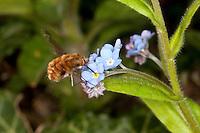 Hummelschweber, Großer Wollschweber, Bombylius major, Blütenbesuch an Vergissmeinnicht, Garten, Saugrüssel, Schwirrflug vor Blüte, Nektar, Blütenbestäubung, beeflies, beefly