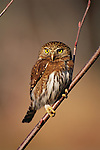 Northern pygmy owl, Olympic National Park, Washington
