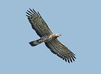 Oriental Honey-buzzard - Pernis ptilorhyncus
