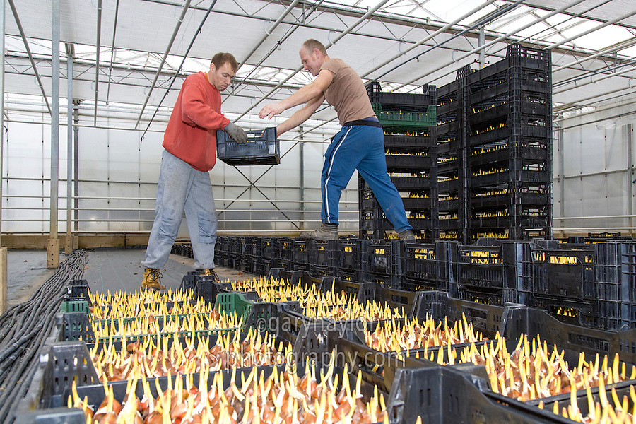 Laying out trays of tulips - Lincolnshire, February