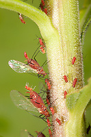 Red Goldenrod Aphid; Uroleucon nigrotuberculatum. giving live birth; PA, Philadelphia; Wissahickon Park; Houston Meadow adult body ca 4mm; w/wings ca. 6mm; newborn = 1 mm