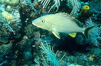 MARINE LIFE: REEFS<br /> Adult Caesar Grunt<br /> Commonly found in schools among coral reefs in the Gulf of Mexico and Western Atlantic. Also known as a blacktail or blacktail grunt.