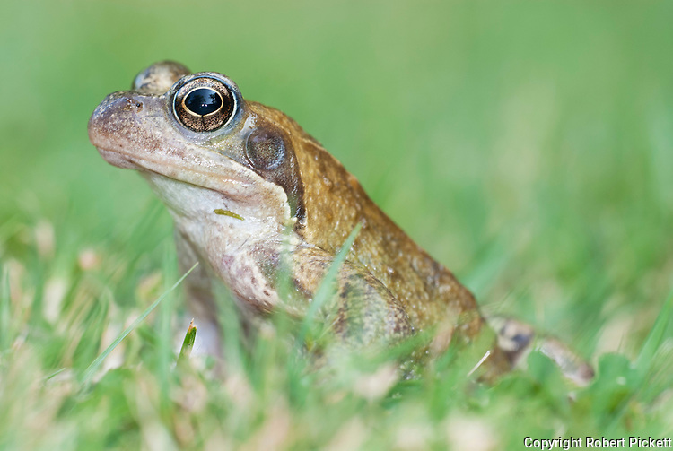 Common Frog, Rana temporaria, portrait, sitting in grass at side of pond in garden