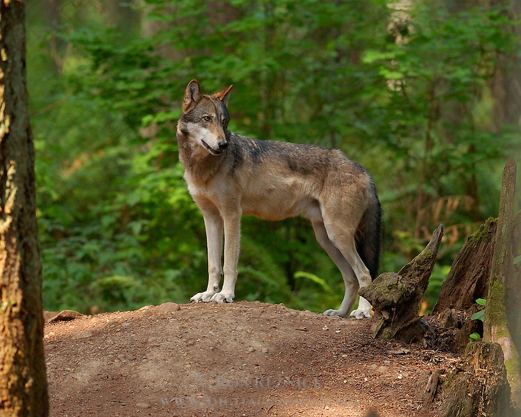 Wolf Juvenile, Gray wolf, Mount Ranier, Washington