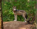 Wolf Juvenile, Gray wolf, Mount Ranier, Washington