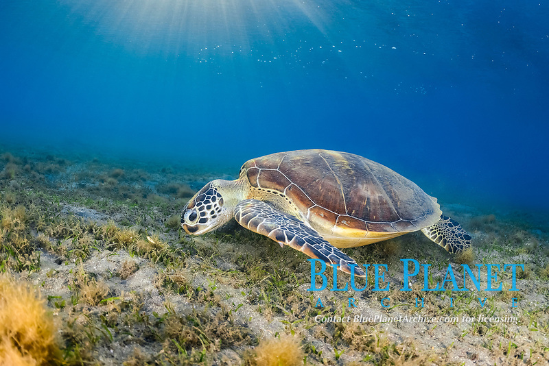green sea turtle, Chelonia mydas, feeding, endangered species, Wadi El Gamal National Park, Marsa Alam, Egypt, Red Sea, Indian Ocean